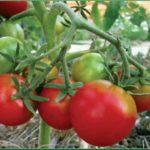 Технология выращивания помидор в виде дерева
