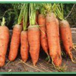 Выращивние моркови по ЭМ технологии
