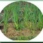 выращивание лука семенами