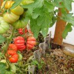 как вырастить помидоры по ЭМ технологии