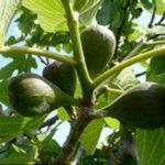 выращивание инжира в горшке