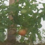 как собирать урожай помидоров все лето