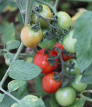 кисть помидоров в июне